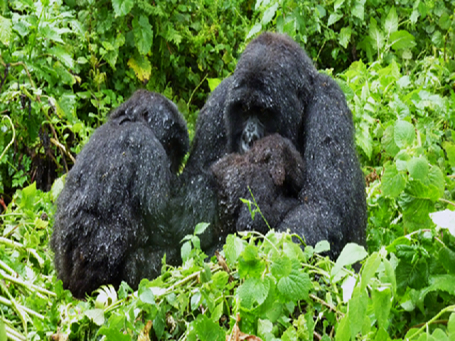 berggorilla's in het 'Virunga National Park' in Rwanda